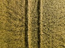 Trace of the track from the tractor in the wheat field. Ripening crop of cereals. Mechanization of agricultural labor. The farm is stock photography