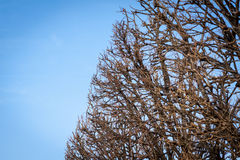 Tracery of leafless branches against a blue sky Stock Photography