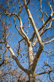 Tracery of leafless branches against a blue sky Royalty Free Stock Photos