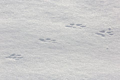 Traces of an animal in  snow. Royalty Free Stock Photos
