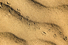 Traces of the beast on the sand in the desert Stock Photo