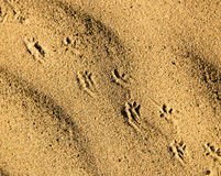 Traces of the beast on the sand in the desert Royalty Free Stock Image