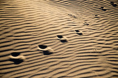 Traces of the beast on the sand in the desert Royalty Free Stock Photography