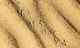 Traces of the beast on the sand in the desert Royalty Free Stock Images
