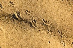 Traces of the beast on the sand in the desert Stock Photos