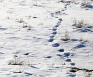 Traces of the beast in the snow.  Royalty Free Stock Photo