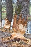 Traces of beaver Stock Photo