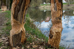 Traces of beavers in bavaria. Traces of beavers in the woodsat river donau Stock Photography