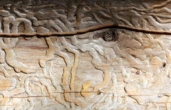Traces of beetles under the bark on a spruce tree Royalty Free Stock Photos