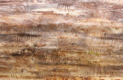 Traces of beetles under the bark on a spruce tree Stock Photos