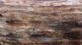 Traces of beetles under the bark on a spruce tree Royalty Free Stock Photo