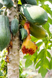 Traces of birds eat ripe papaya on tree. Royalty Free Stock Images