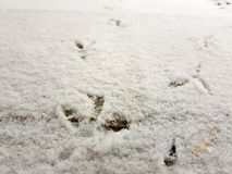 Traces of birds in the snow in winter stock image