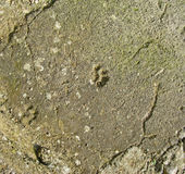 Traces of cat paws in concrete Royalty Free Stock Photography