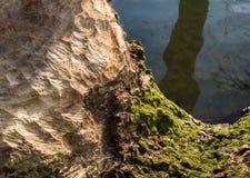 Traces de rongement de castor dans un tronc de fin Photo stock