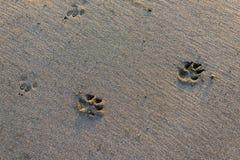 Traces des animaux sauvages sur le sable Images stock