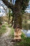 Traces des castors en Bavière Image libre de droits