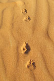 Traces of desert fox on sand stock photos