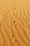 Traces of desert fox on sand Stock Images