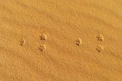 Traces of desert fox on sand Royalty Free Stock Photo