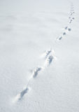 Traces of a hare on a snow Royalty Free Stock Image
