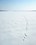 Traces of a hare on a snow Stock Images