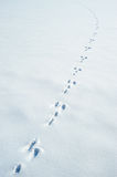 Traces of a hare on a snow Stock Image