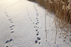 Traces of hares in snow. Stock Photo