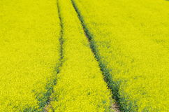Traces in rapeseed field Stock Image