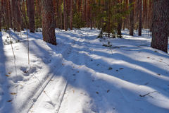 Traces of skiing in the winter pine forest in bright sunlight Royalty Free Stock Image
