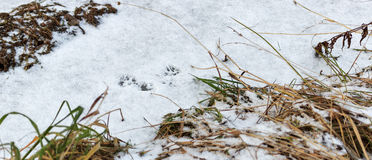 Traces on the snow ferret Royalty Free Stock Photo