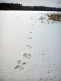 Traces in the Snow. On a frozen lake in winter with some reed royalty free stock photography