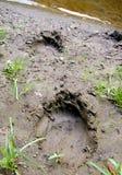 The Traces talon bear. Royalty Free Stock Image
