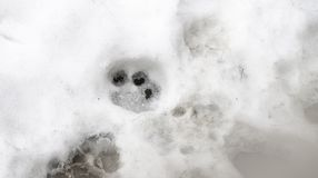 Traces of Tiger on the white snow in winter stock photos