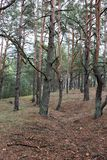 Remains of trenches lines of World War One in the pine spring forest of Volyn. Traces of Trench warfare WW1 nowadays. Battleground royalty free stock image