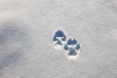 Traces of two wolf paws on the snow in winter royalty free stock photo