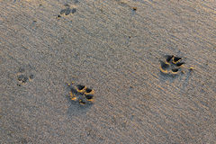 Traces of wild animals on sand Stock Images