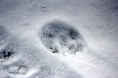 Traces of wild animals in the snow in the forest. stock photo