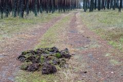 Traces of wild boar on a forest road. The place where the pack of wild boars stay in the forest stock photo