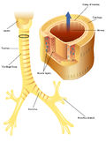Trachea. Medical illustration of the anatomy of the trachea Royalty Free Stock Photo