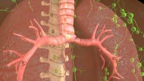 trachea Imagens de Stock