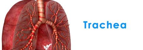 Trachea Stock Image