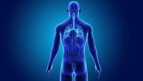 Trachea con gli organi illustrazione vettoriale