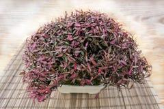 Trachelospermum Asiaticum dei bonsai Fotografia Stock