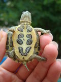 Trachemys da tartaruga Fotos de Stock