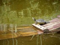 Trachemys. Red freshwater turtle (lat. Trachemys scripta elegans) is a subspecies of pond slider turtles from the family of freshwater turtles (Emydidae). The stock photos