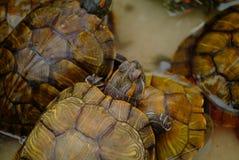 Trachemys scripta elegans Stock Photography