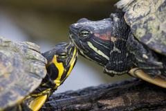 Trachemys scripta elegans - Red-Eared Sliders Stock Photography