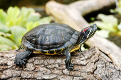 Trachemys scripta troostii Stock Photo
