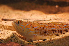 Trachinus van vissen royalty-vrije stock fotografie